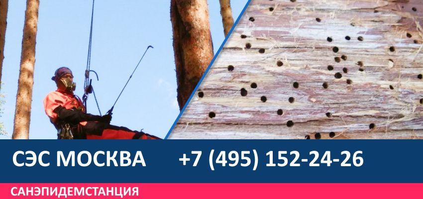 уничтожение жука короеда на деревьях